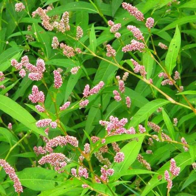 почечуйная трава при геморрое фото