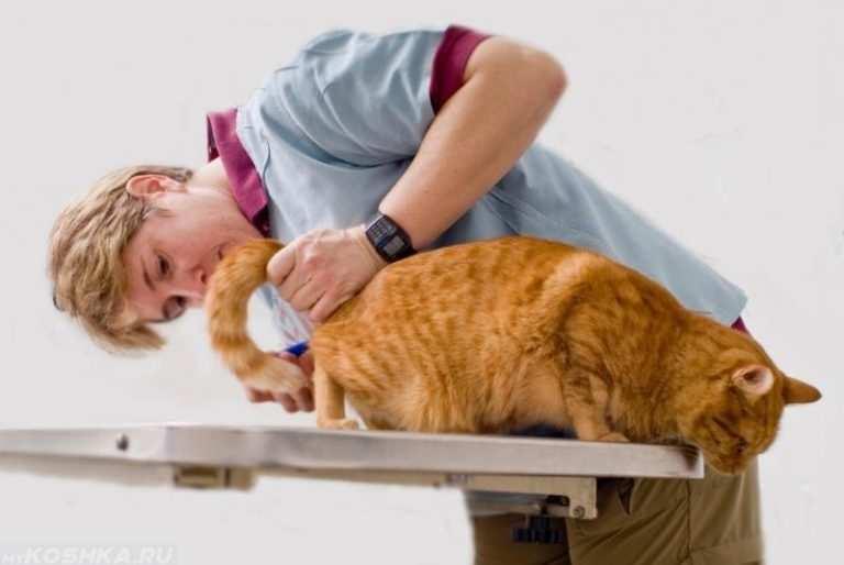 Воспаление анальных желез у кошки