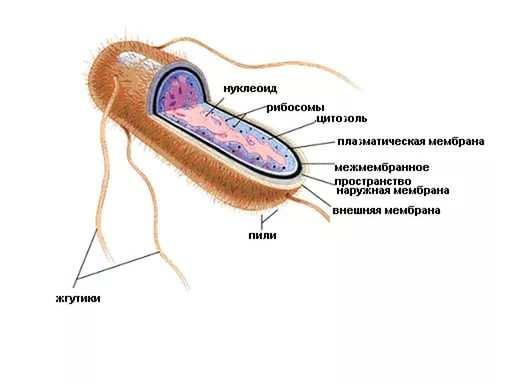 Гемолизирующая кишечная палочка
