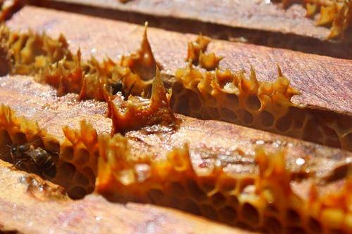 Прополис и пчелы