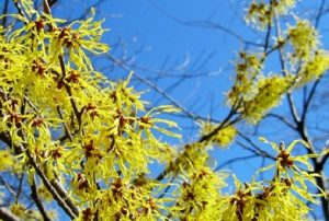 Растение гамамелис виргинский